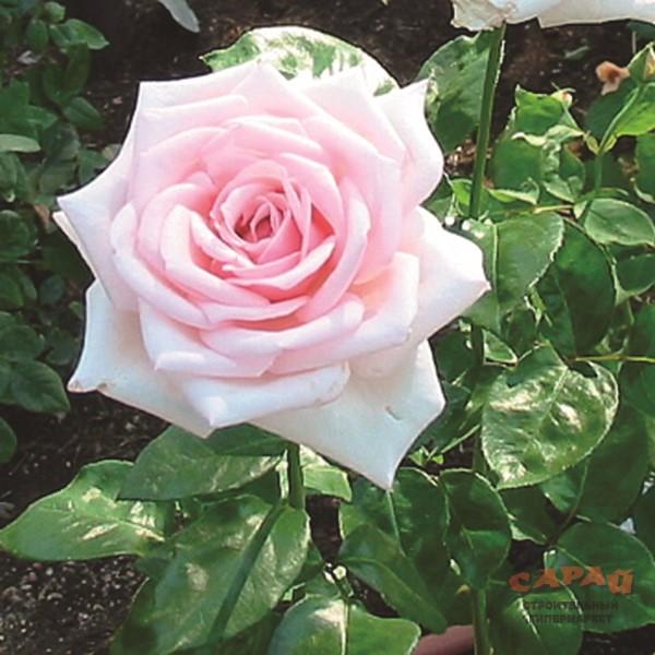 1 royal garden саженцы роз 191290786
