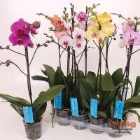 Орхидеи фаленопсис купить в интернет магазине недорого в горшках