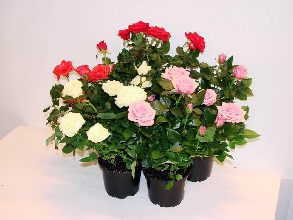 Адаптация комнатных роз. Уход за розой в домашних условиях