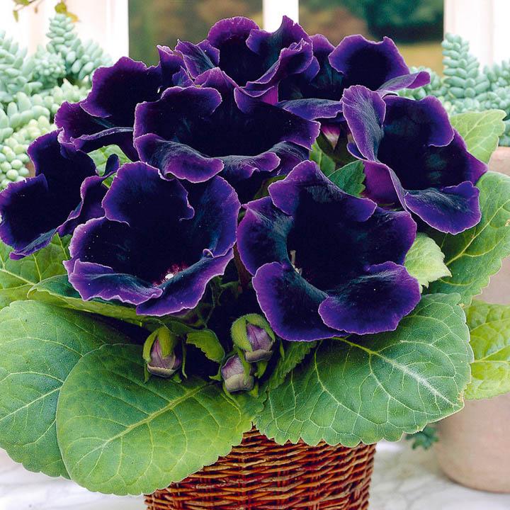 Глоксиния комнатная: фото цветов, описание, уход 17